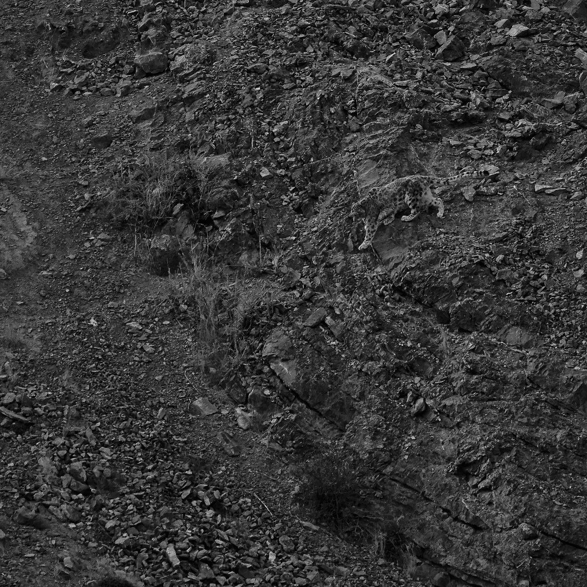 photo en noir et blanc d'un léopard des neiges de déplaçant