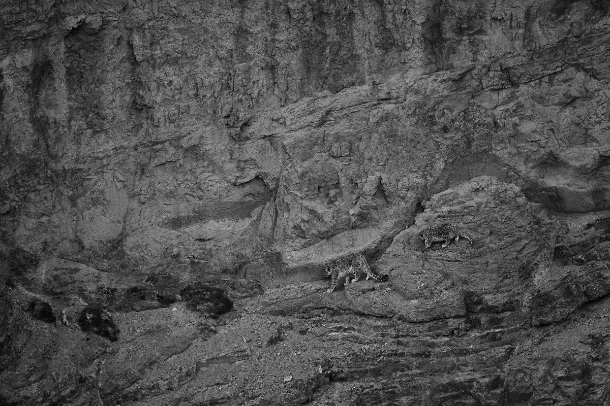 photo en noir et blanc d'un léopard des neiges femelle et son petit marchant le long de la falaise
