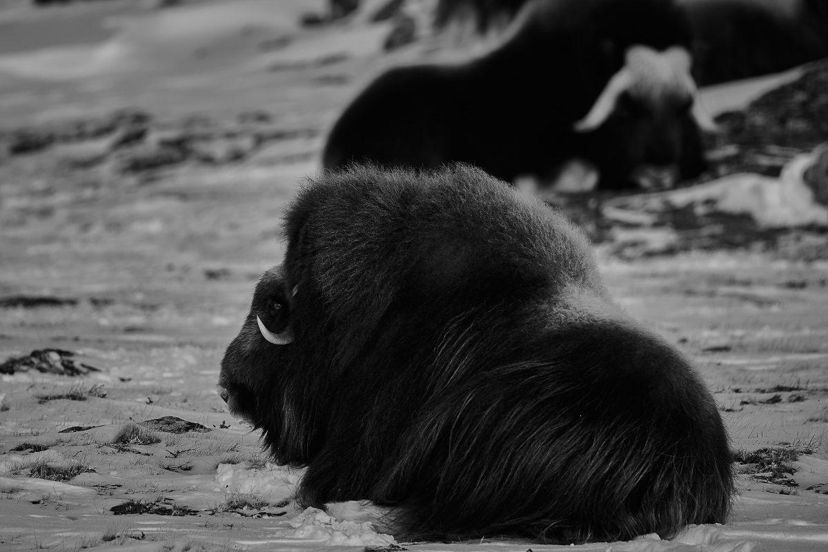 photo en noir et blanc d'une chèvre préhistorique