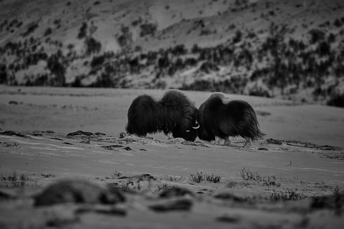 photo en noir et blanc d'un combat de boeufs musqués
