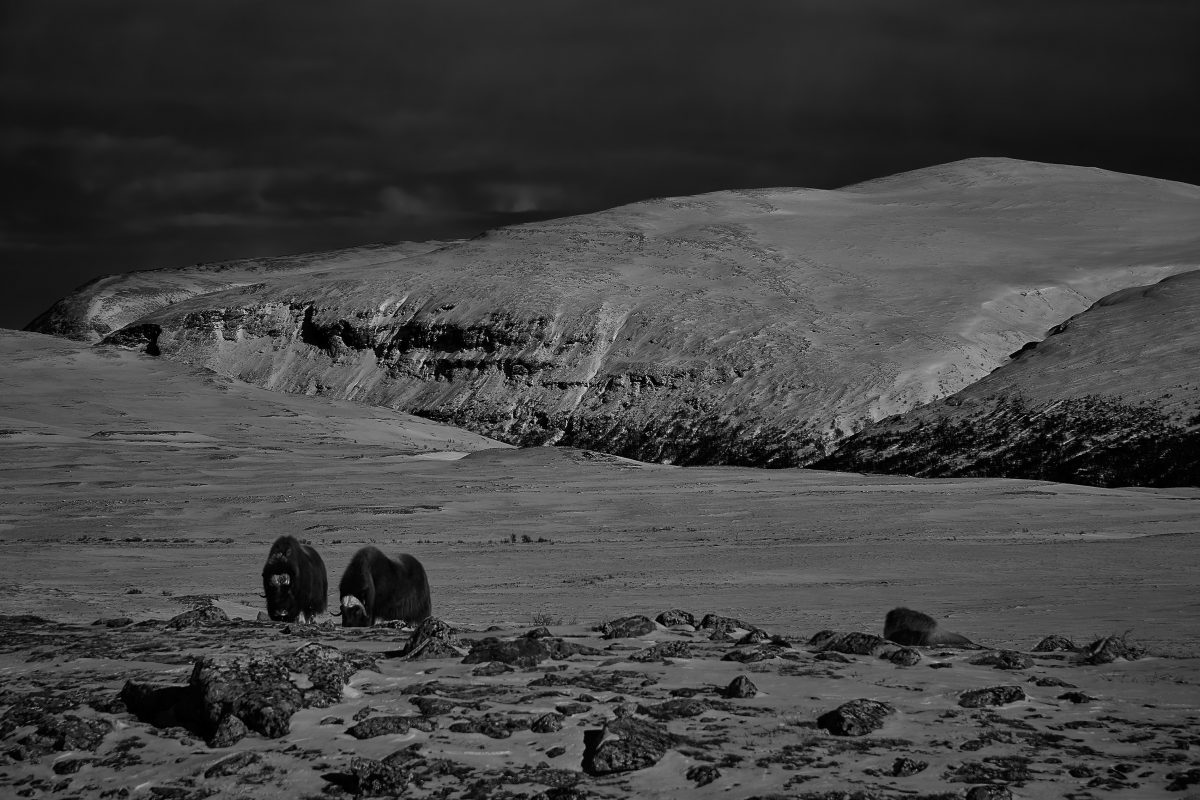photo en noir et blanc du parc national de dovrefjell