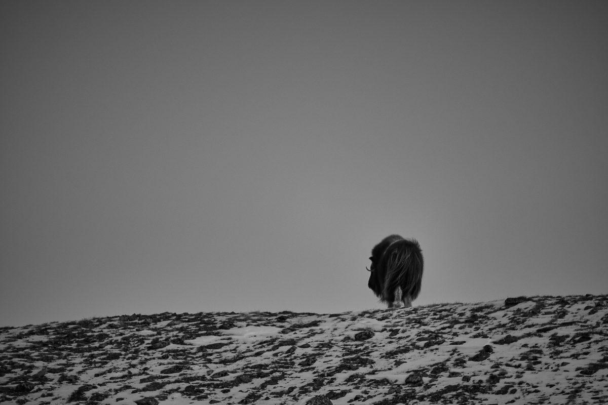 photo en noir et blanc d'un boeuf musqué de dos s'éloignant au loin