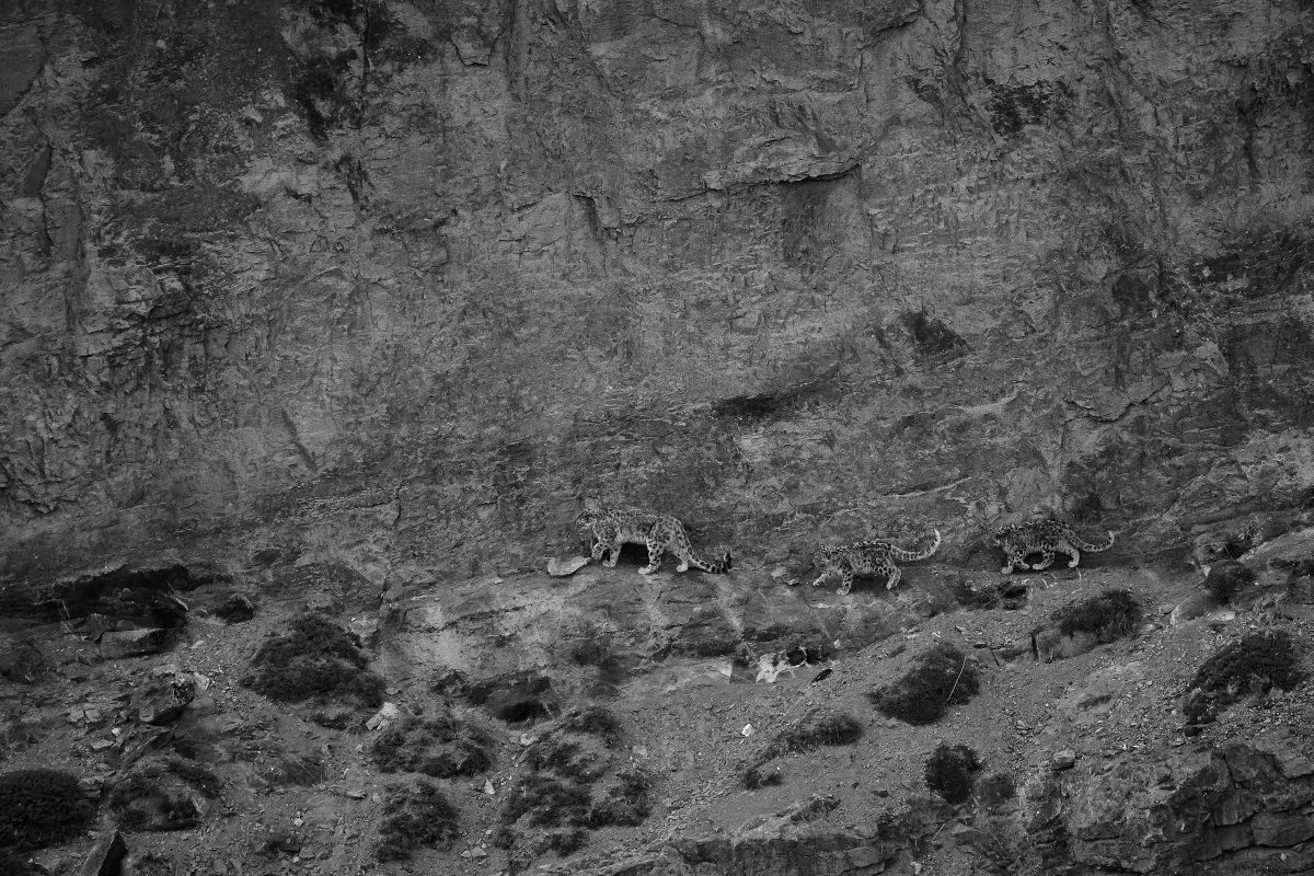 photo en noir et blanc de 3 léopards des neiges marchant le long de la falaise