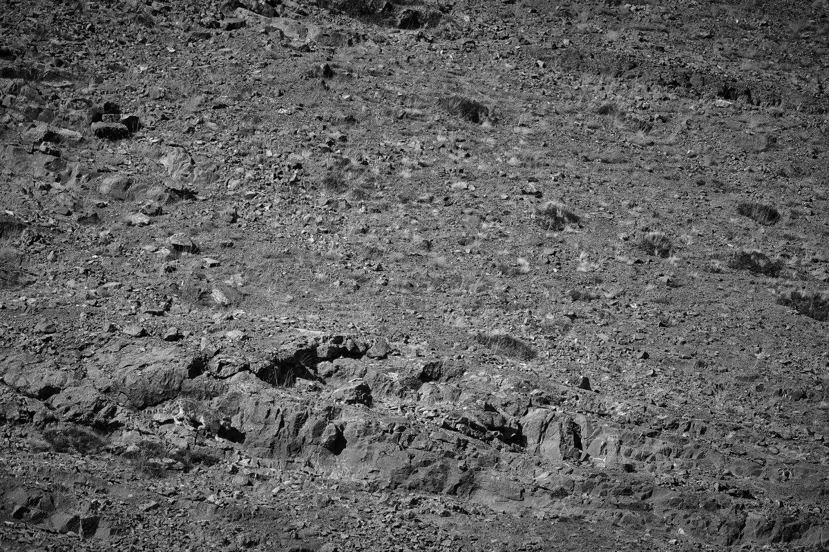 photo en noir et blanc d'un léopard des neiges qui avance discrètement