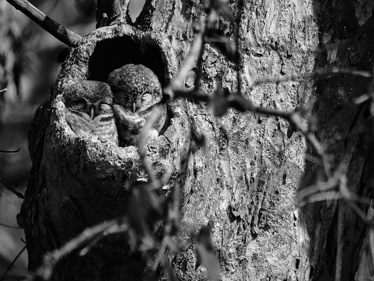 photo en noir et blanc de deux chevêche brame