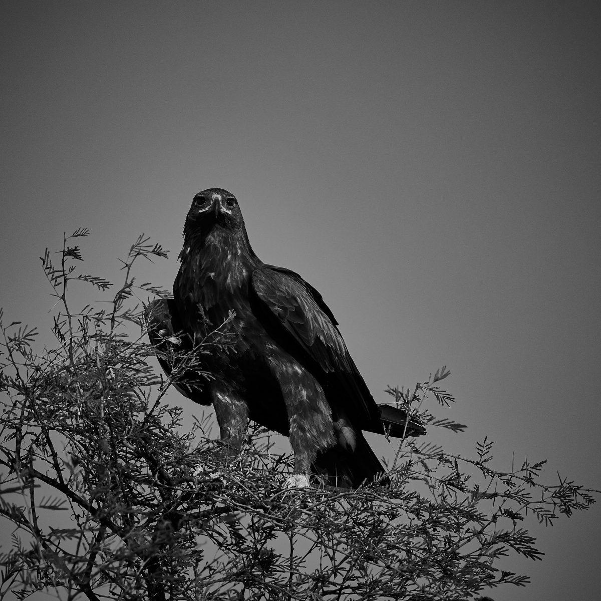 photo en noir et blanc d'un grand aigle tacheté