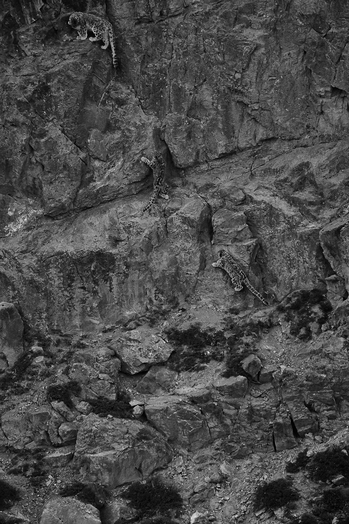 photo en noir et blanc de léopards des neiges grimpant en montagne