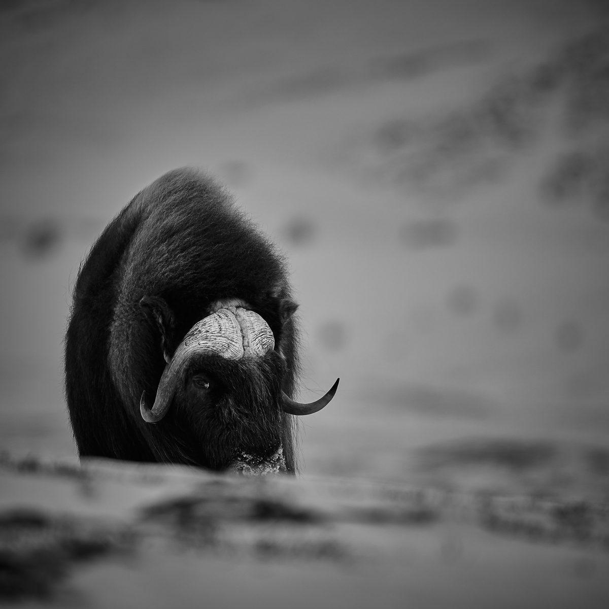 photo en noir et blanc d'un boeuf musqué regardant du coin de l'oeil