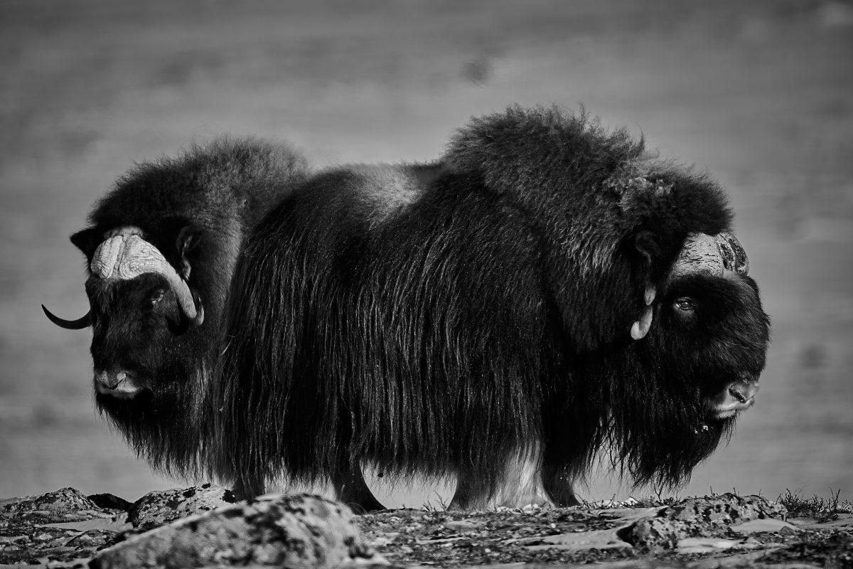 photo en noir et blanc d'un troupeau de boeufs musqués