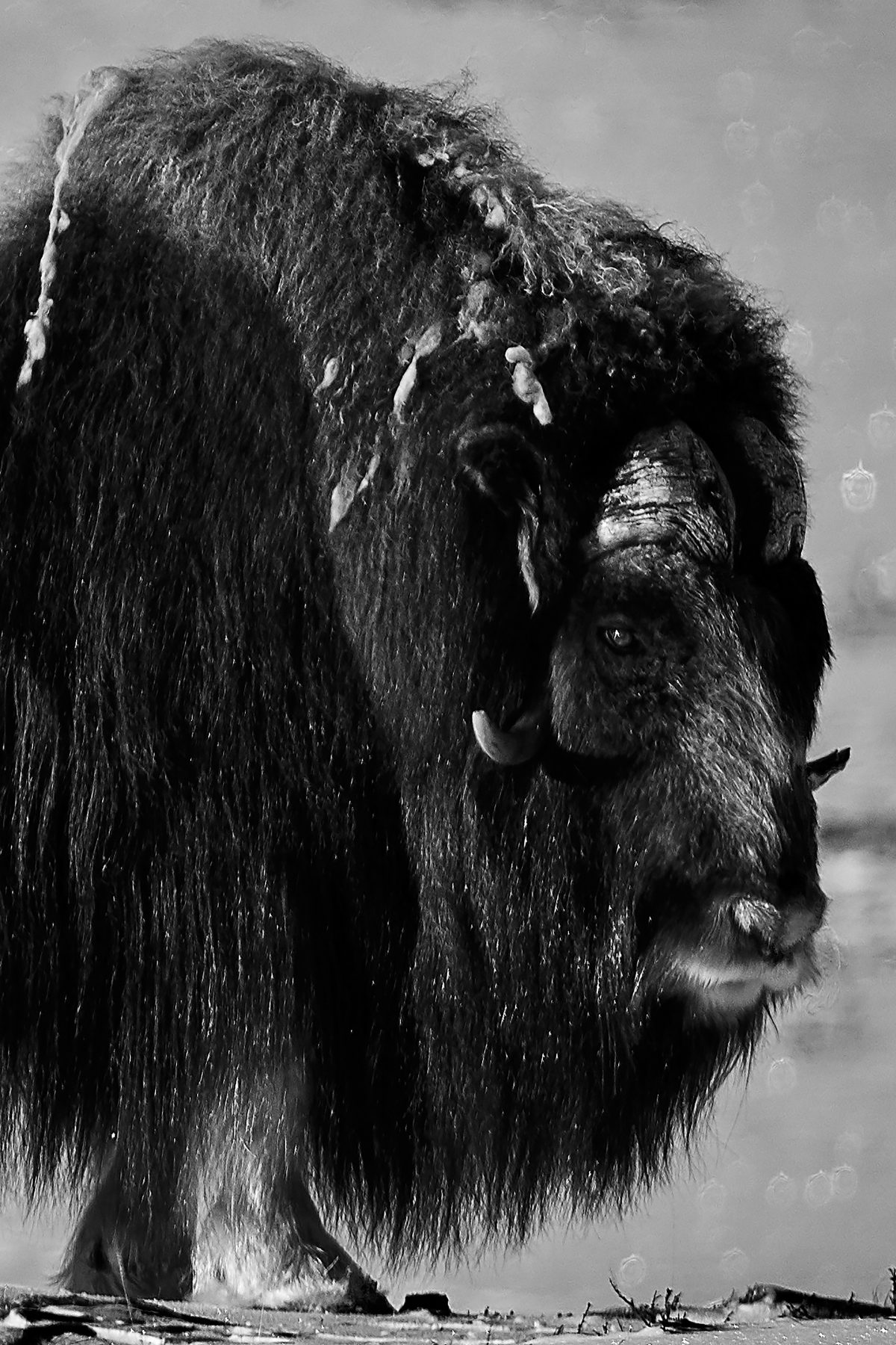 photo portrait en noir et blanc d'un vieux boeuf musqué