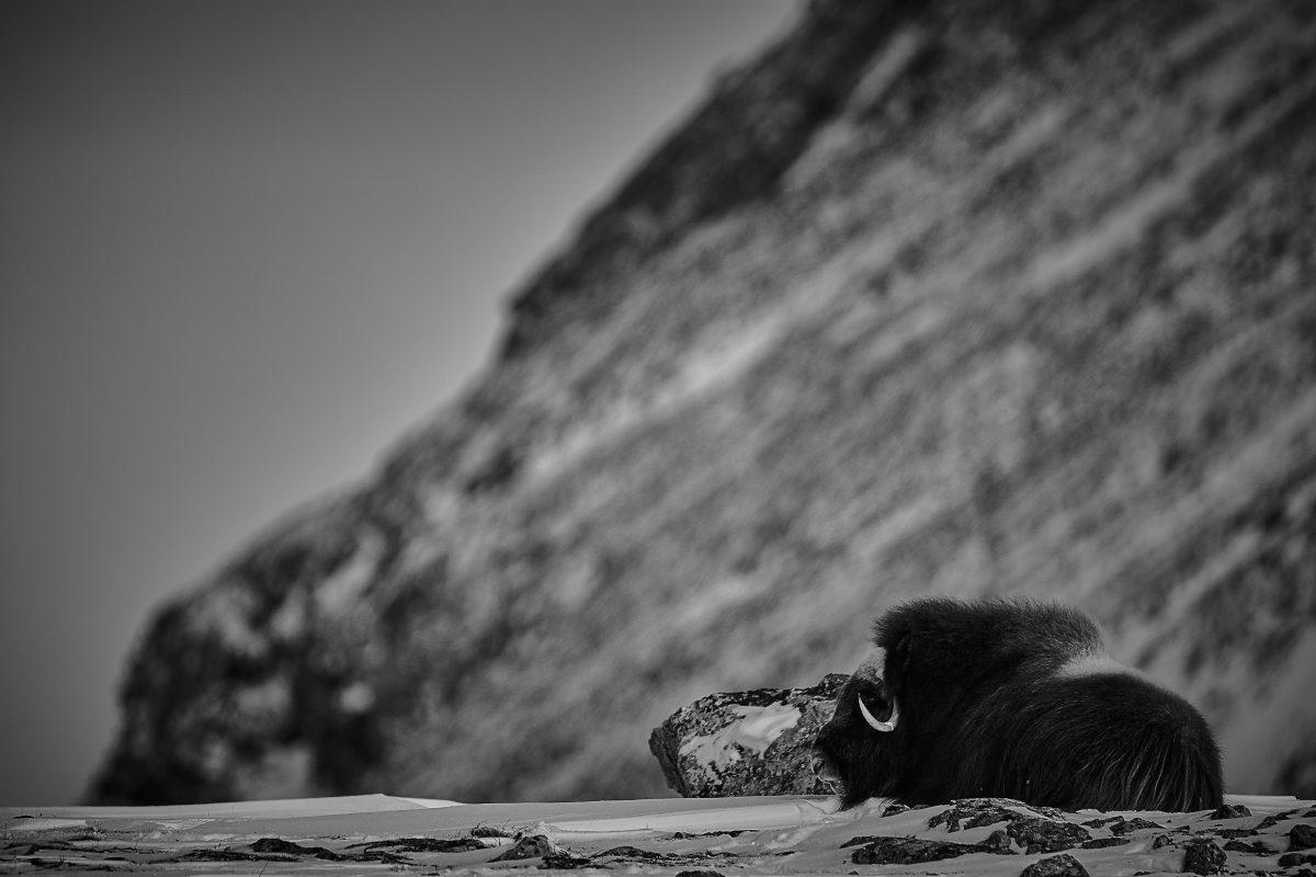 photo en noir et blanc d'un boeuf musqué au repos
