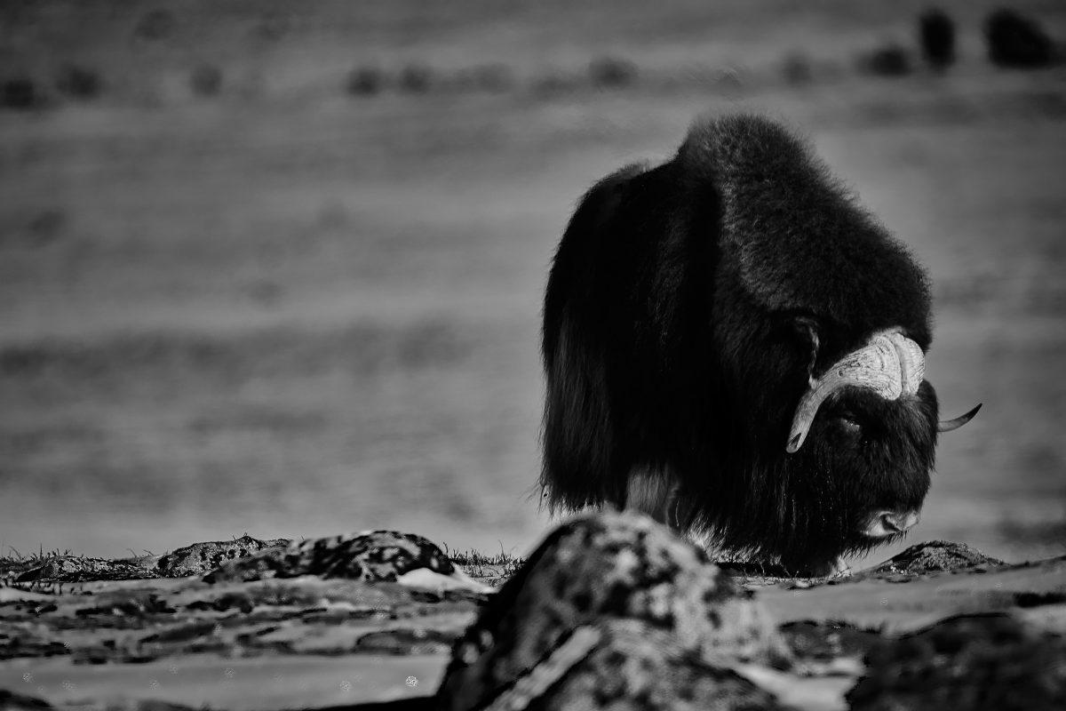photo en noir et blanc d'un boeuf musqué ayant l'air triste
