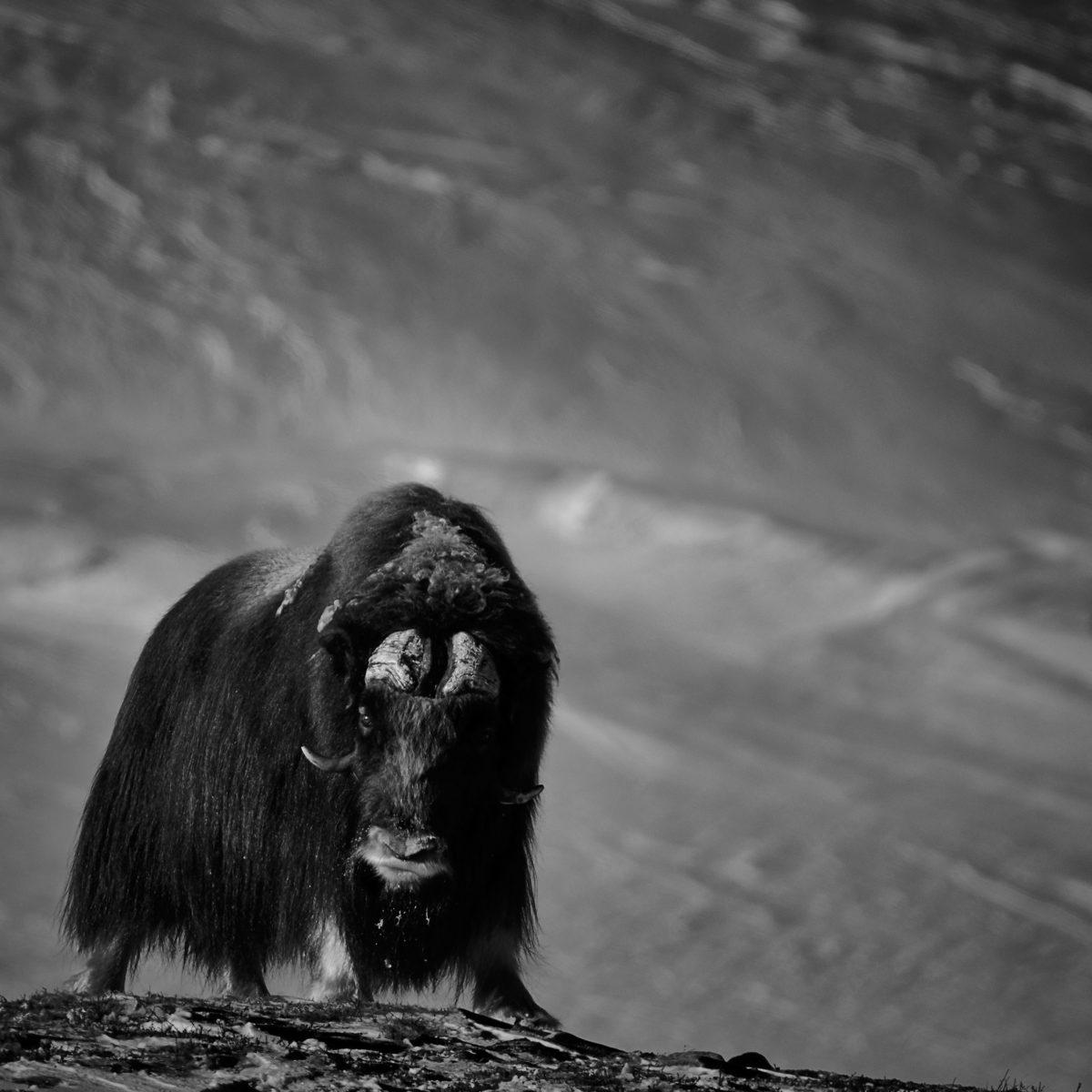 photo en noir et blanc d'un boeuf musqué à l'arrêt